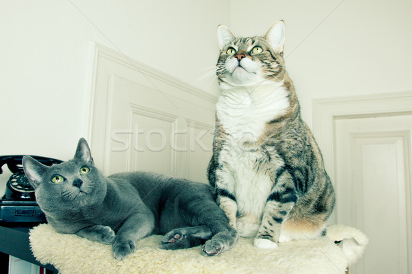 Two Cats Stock photo © nailiaschwarz
