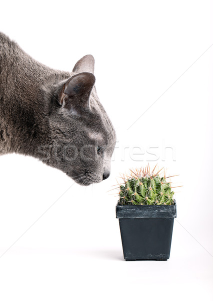 Inquisitive cat inspecting a spiny cactus Stock photo © nailiaschwarz