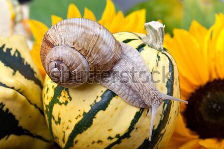 Winorośl ślimak jesienią obraz europejski Zdjęcia stock © nailiaschwarz