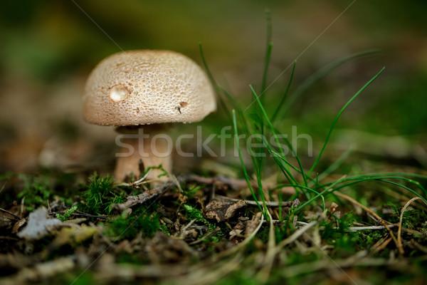Autumn Forest Mushrooms Stock photo © nailiaschwarz