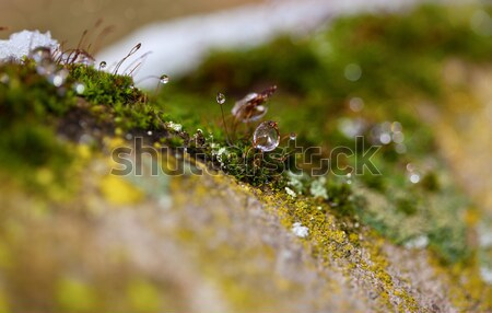 Moss in Ice Stock photo © nailiaschwarz