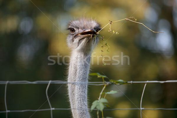 Autruche oiseau ferme automne yeux portrait Photo stock © nailiaschwarz