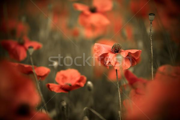 Red Poppy Flowers Stock photo © nailiaschwarz