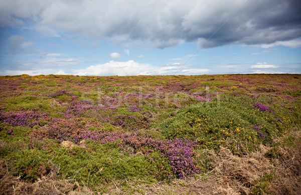 Heath at Cap Frehel Stock photo © nailiaschwarz