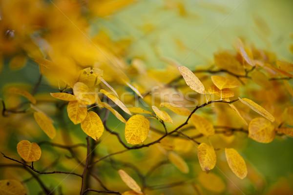 Autumn Leaves Stock photo © nailiaschwarz