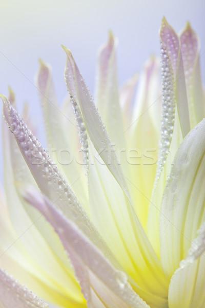 Dahlia flower with dew drops Stock photo © nailiaschwarz