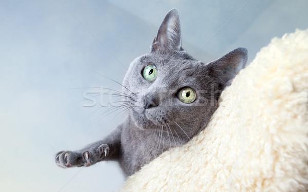 ロシア 青 猫 スタジオ 肖像 目 ストックフォト © nailiaschwarz