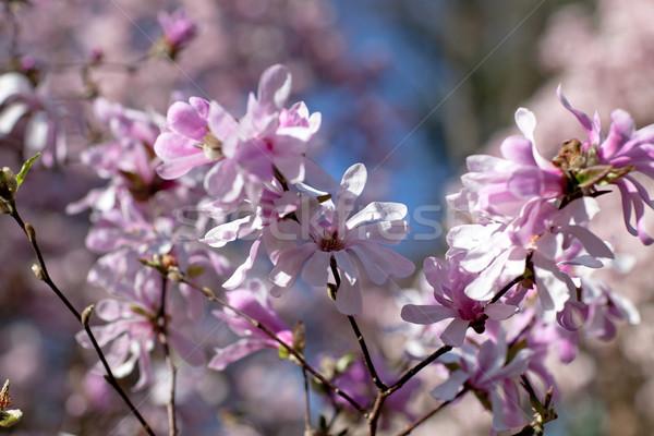 çiçekli manolya ağaç kapalı güzel taze Stok fotoğraf © nailiaschwarz