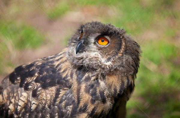 Young Owl Stock photo © nailiaschwarz