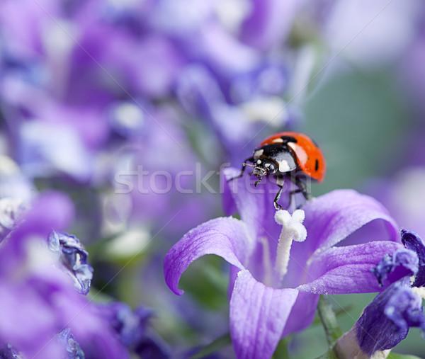 Ladybug фиолетовый саду весны цветы красоту Сток-фото © nailiaschwarz