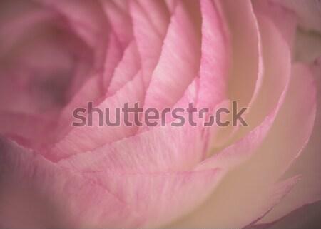 Soft pastel Persian Buttercup Flower Stock photo © nailiaschwarz