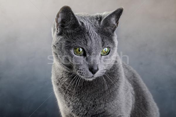 ロシア 青 猫 スタジオ 肖像 エレガントな ストックフォト © nailiaschwarz
