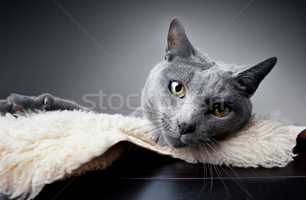 Russian Blue Cat Stock photo © nailiaschwarz