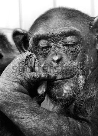 şempanze portre Afrika tava yüz hayvan Stok fotoğraf © nailiaschwarz