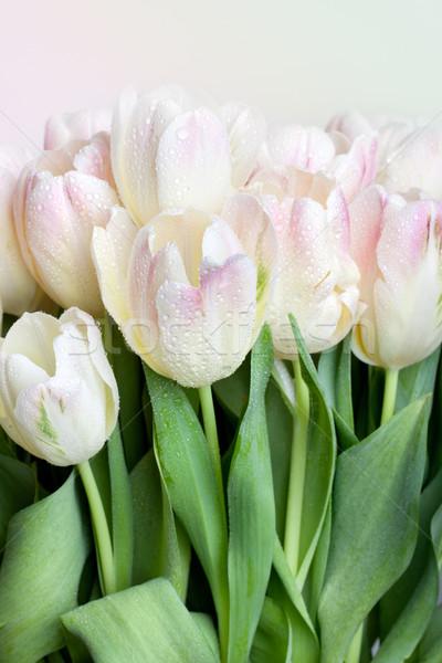 Tulipánok vízcseppek virágcsokor pasztell színes ajándék Stock fotó © nailiaschwarz