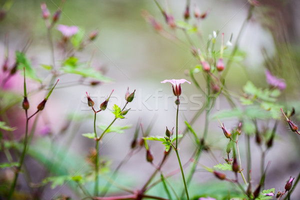 Alpine Meadow Stock photo © nailiaschwarz