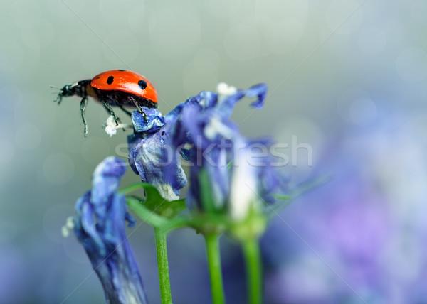Ladybug and Bellflowers Stock photo © nailiaschwarz