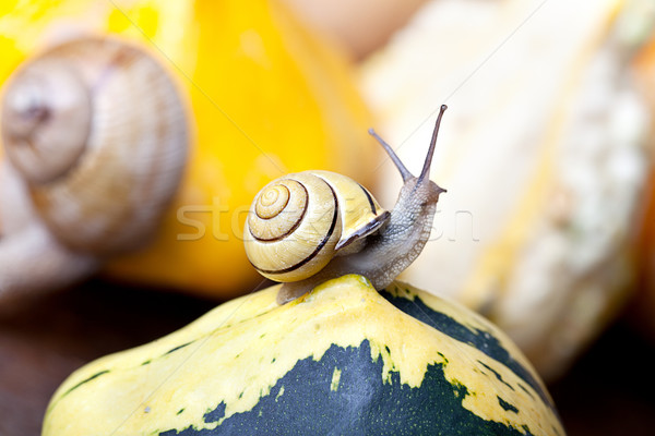 Snails and Pumpkins Stock photo © nailiaschwarz