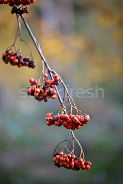 Autumn Fruits Stock photo © nailiaschwarz