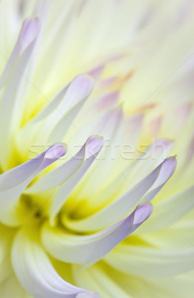 Pastel colored dahlia flower Stock photo © nailiaschwarz