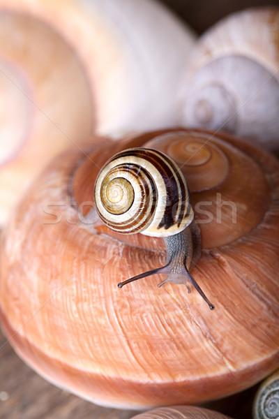 Snail on Shells Stock photo © nailiaschwarz
