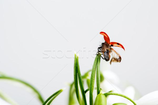 Ladybug on Snowdrop Flowers Stock photo © nailiaschwarz