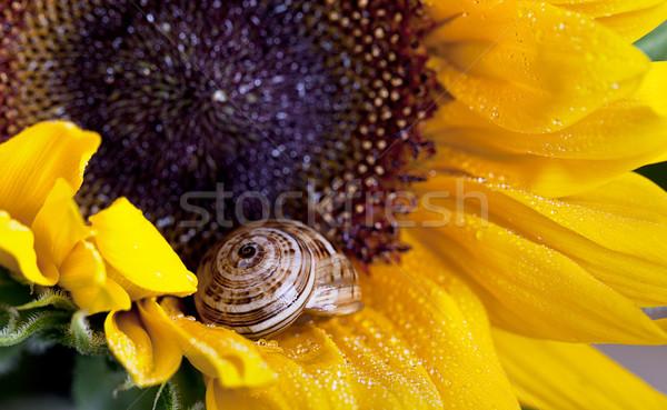 Snail - Cornu aspersum Stock photo © nailiaschwarz