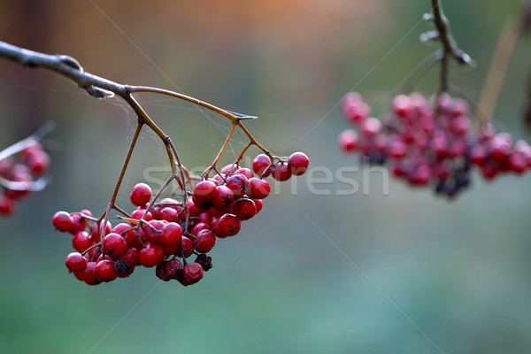 Automne fruits rouge baies jardin arbre Photo stock © nailiaschwarz