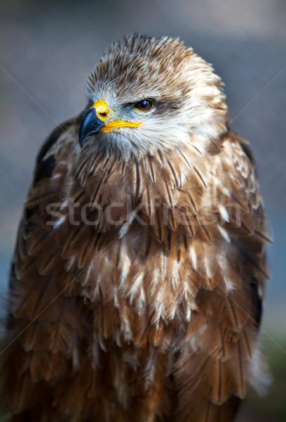 Common European Buzzard Stock photo © nailiaschwarz