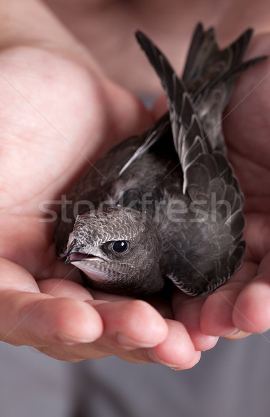 Young Eurasian Swift Stock photo © nailiaschwarz