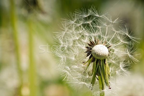 Dandelion Meadow Stock photo © nailiaschwarz