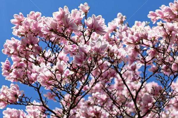 цветения магнолия дерево покрытый красивой свежие Сток-фото © nailiaschwarz