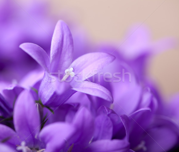 Violet Bellflowers Stock photo © nailiaschwarz