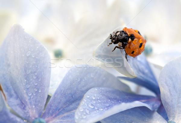 Wet Ladybug Stock photo © nailiaschwarz