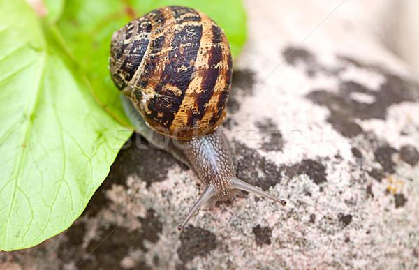 Snail Stock photo © nailiaschwarz