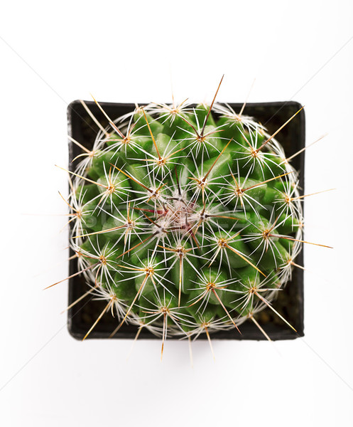 Spiny cactus in flowerpot Stock photo © nailiaschwarz