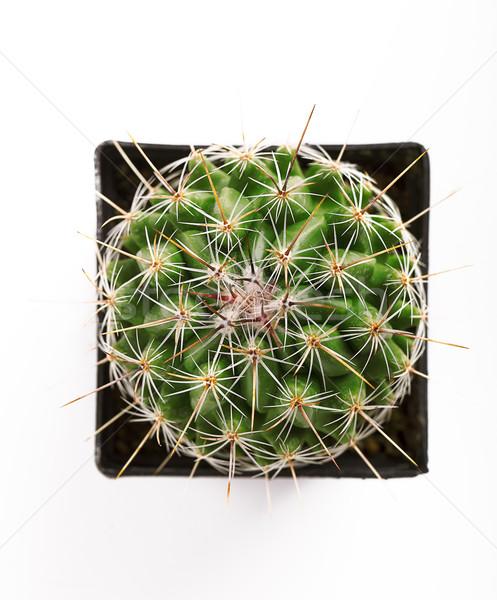 Cactus bloempot groene vierkante Stockfoto © nailiaschwarz