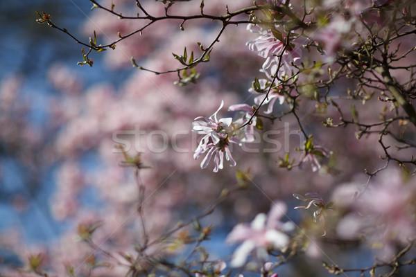 Bloei magnolia boom gedekt mooie vers Stockfoto © nailiaschwarz