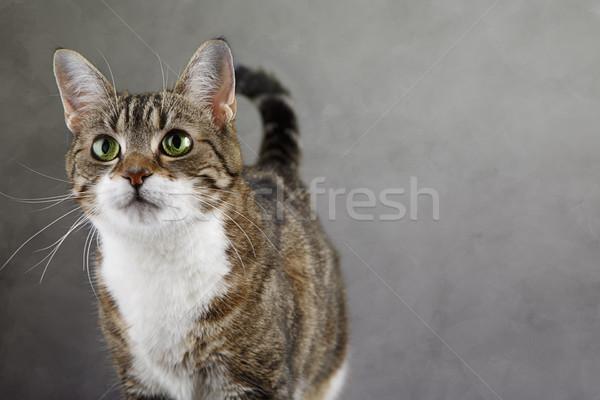 Cat Portrait Stock photo © nailiaschwarz