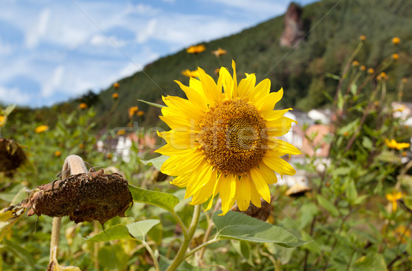 Sunflower Helianthus annuus Stock photo © nailiaschwarz