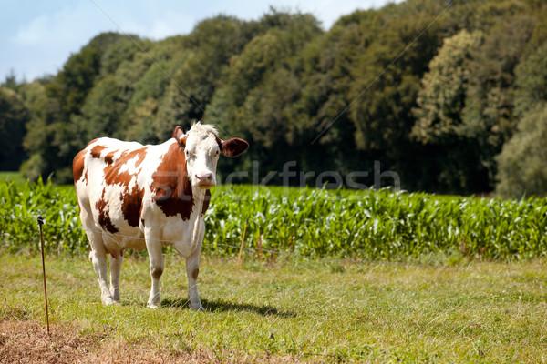 Cows Stock photo © nailiaschwarz
