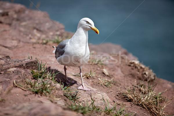 鴎 クローズアップ 海岸 風景 海 夏 ストックフォト © nailiaschwarz