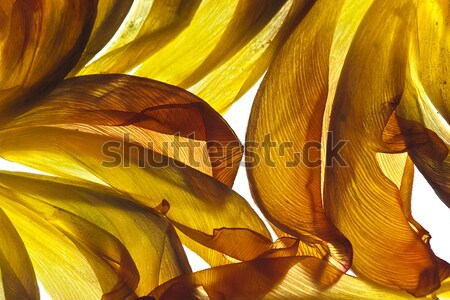 Tulip Leaves Stock photo © nailiaschwarz