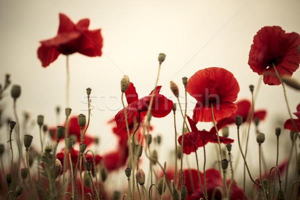 Photo stock: Maïs · pavot · fleurs · domaine · lumineuses · rouge
