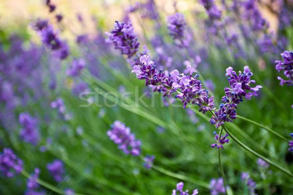 Lavender Stock photo © nailiaschwarz