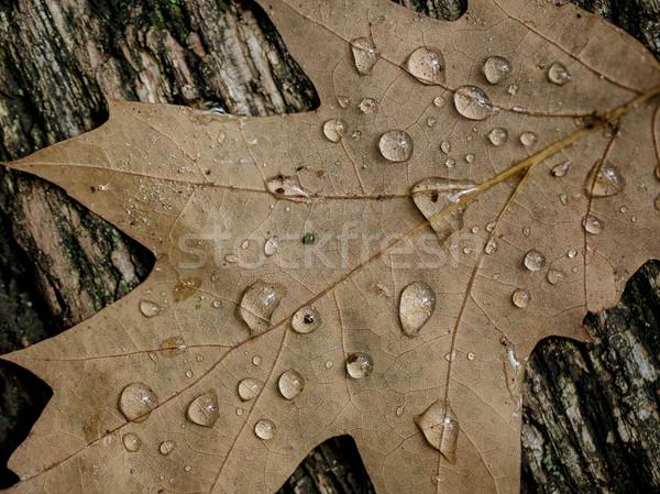 Autumn Oak Leaves Stock photo © nailiaschwarz