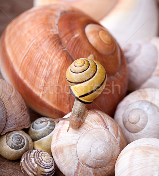Snail on Shells Stock photo © nailiaschwarz