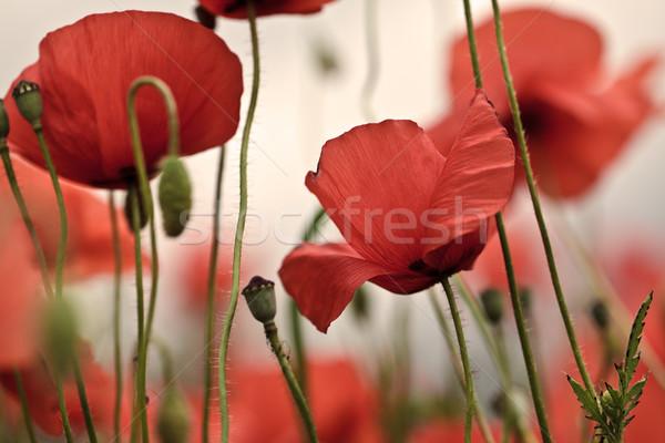 Corn Poppy Flowers Stock photo © nailiaschwarz