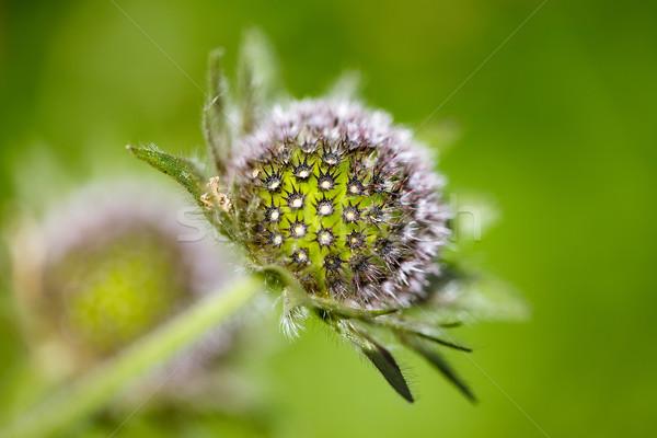 Alpesi legelő gyógynövények növények nyár fű Stock fotó © nailiaschwarz