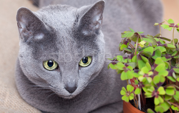 Cat and Four leaved Clover Stock photo © nailiaschwarz